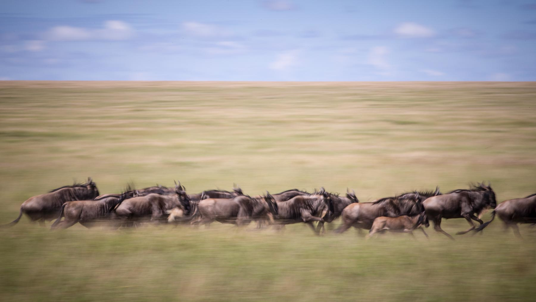 Wildebeests in the Great Migration