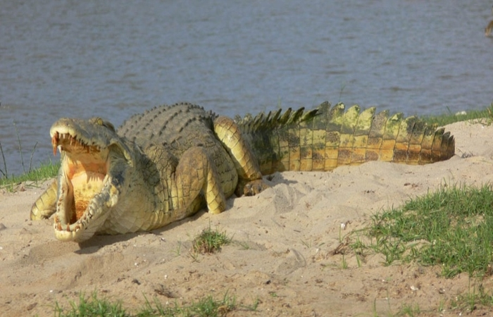 crocodile in ruaha national park