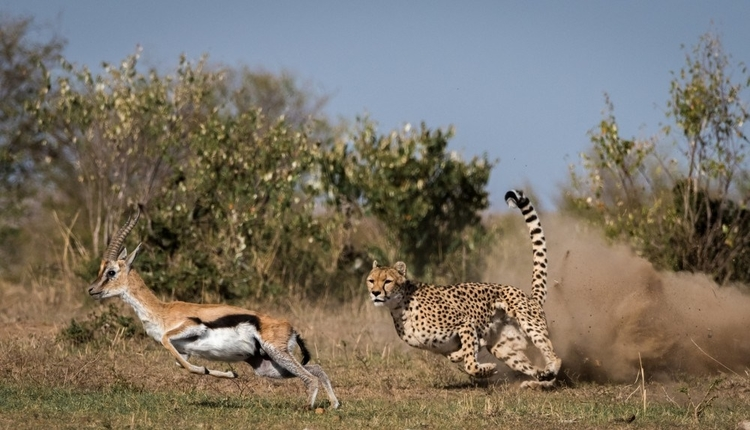 cheetah hunting in Ruaha