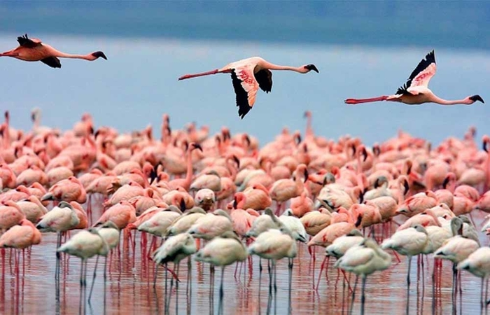 flamingoes in Lake Manyara