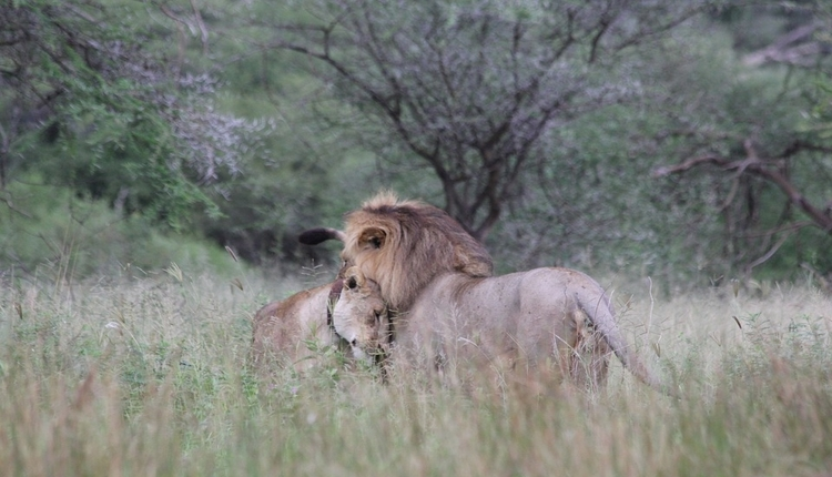 lion and lioness at Tarangire National Park