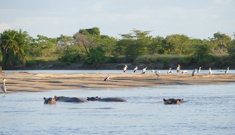 hippos in Saadani National Park