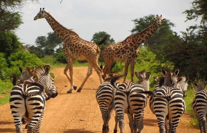 giraffes and zebras in mikumi national park