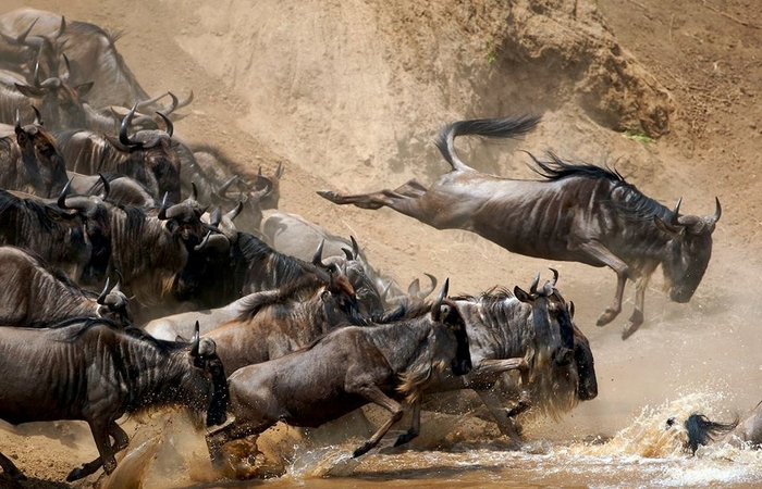 Why is the Great Wildebeest Migration so special?