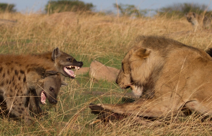 predator action in the Serengeti during Great Migration